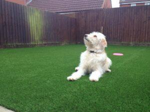 Eclipse artificial grass with happy dog Leighton Buzzard