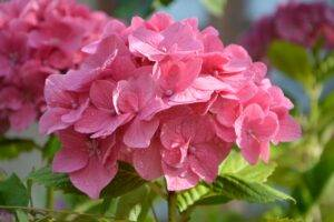 A picture of hydrangeas in wet weather