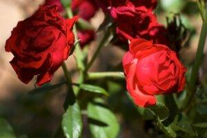 A picture of red rose with both shade and sun on it