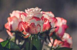 A picture of pink and white roses